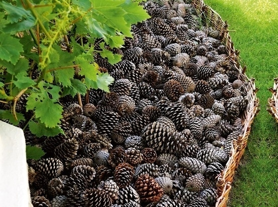 pine cones backyard